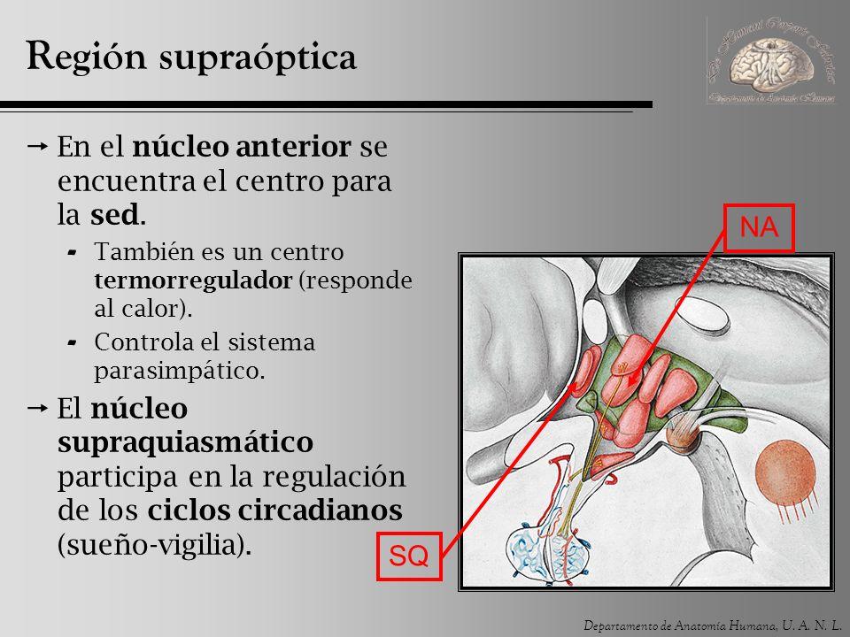 Departamento de Anatomía Humana, U. A. N. L. Región supraóptica En el núcleo anterior se encuentra el centro para la sed. - También es un centro termo