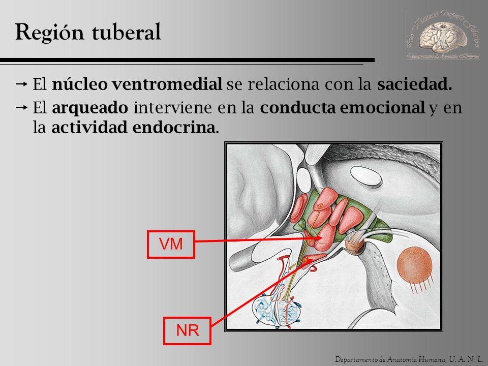 Departamento de Anatomía Humana, U. A. N. L. Región tuberal El núcleo ventromedial se relaciona con la saciedad. El arqueado interviene en la conducta
