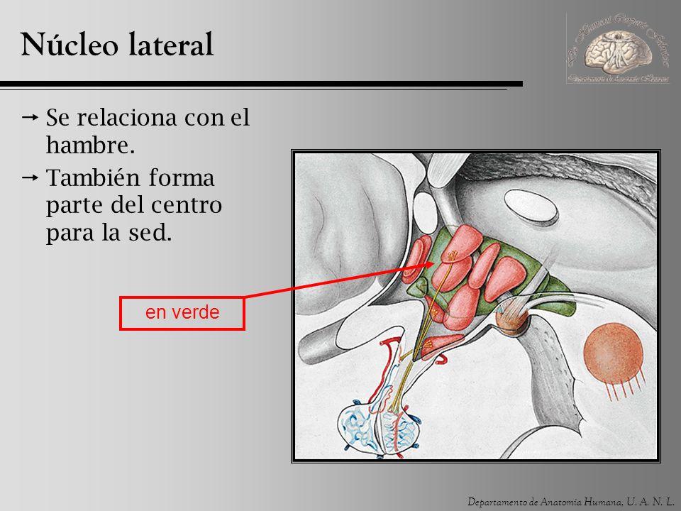 Departamento de Anatomía Humana, U. A. N. L. Núcleo lateral Se relaciona con el hambre. También forma parte del centro para la sed. en verde