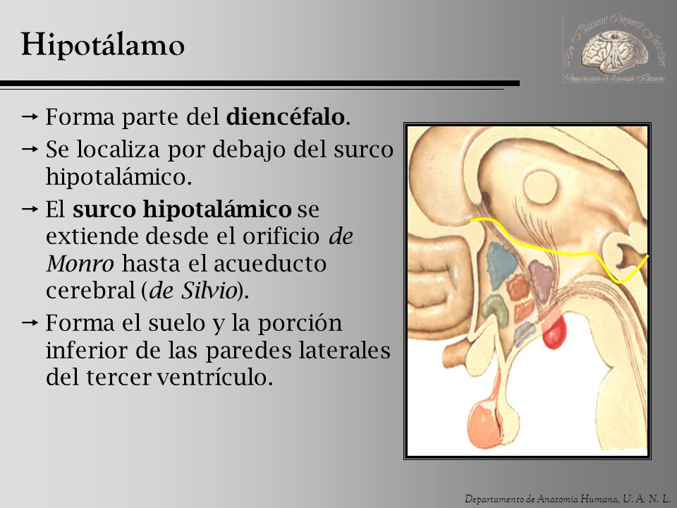 Departamento de Anatomía Humana, U.A. N. L. Núcleo lateral Se relaciona con el hambre.
