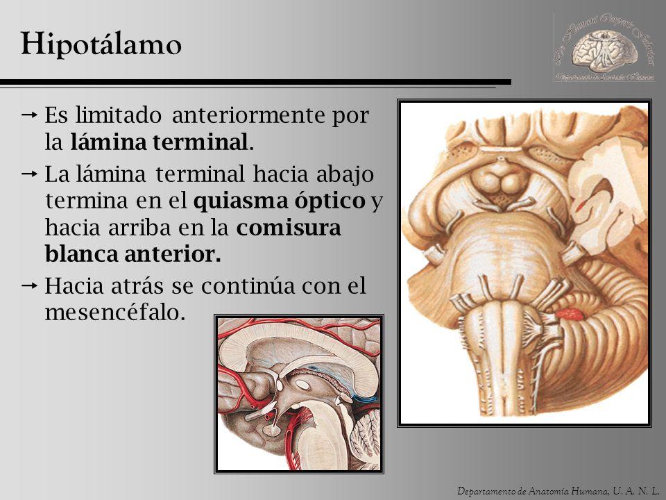 Departamento de Anatomía Humana, U. A. N. L. Hipotálamo Es limitado anteriormente por la lámina terminal. La lámina terminal hacia abajo termina en el
