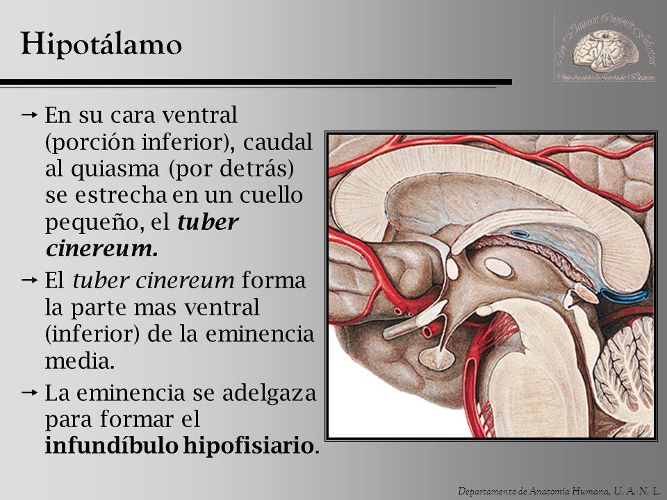 Departamento de Anatomía Humana, U. A. N. L. Hipotálamo En su cara ventral (porción inferior), caudal al quiasma (por detrás) se estrecha en un cuello