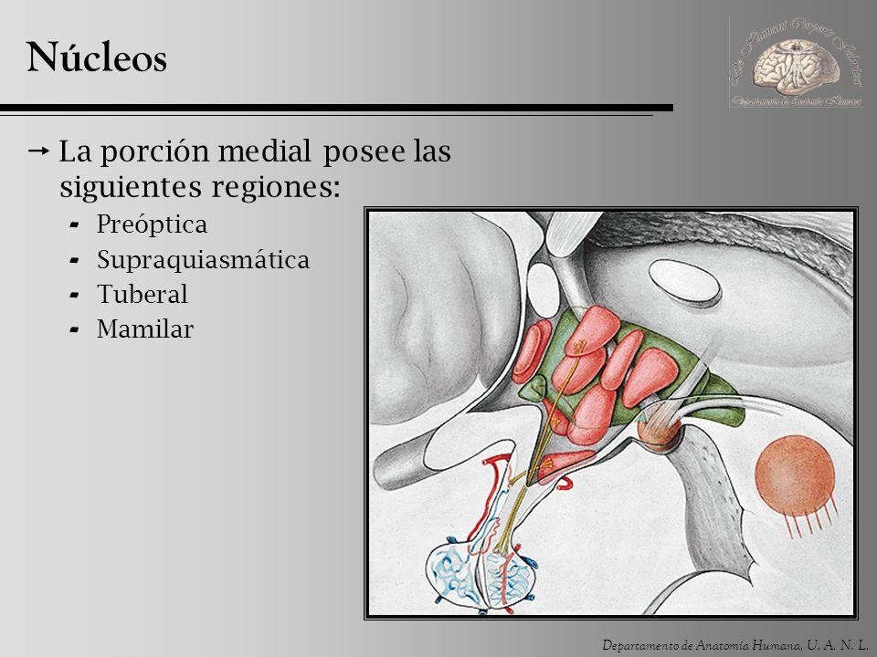 Departamento de Anatomía Humana, U. A. N. L. Núcleos La porción medial posee las siguientes regiones: - Preóptica - Supraquiasmática - Tuberal - Mamil