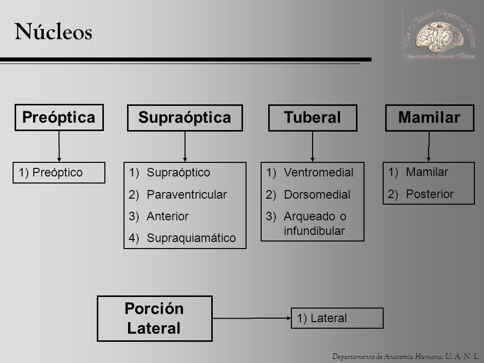 Departamento de Anatomía Humana, U. A. N. L. Núcleos Preóptica SupraópticaTuberalMamilar 1) Preóptico1)Supraóptico 2)Paraventricular 3)Anterior 4)Supr