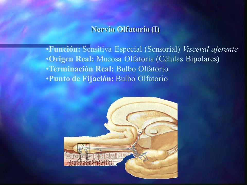 nFunción nOrigen real nTerminación real nPunto de fijación àSensitiva especial àCélulas bipolares de la mucosa olfatoria àBulbo olfatorio Nervio Olfatorio