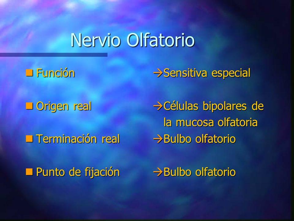 nConsiste aproximadamente en veinte fascículos de fibras amielínicas.