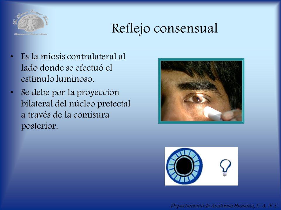Departamento de Anatomía Humana, U. A. N. L. Reflejo consensual Es la miosis contralateral al lado donde se efectuó el estímulo luminoso. Se debe por