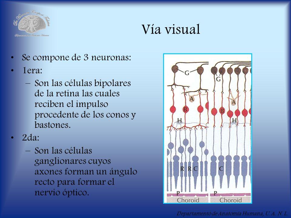 Departamento de Anatomía Humana, U. A. N. L. Vía visual Se compone de 3 neuronas: 1era: –Son las células bipolares de la retina las cuales reciben el