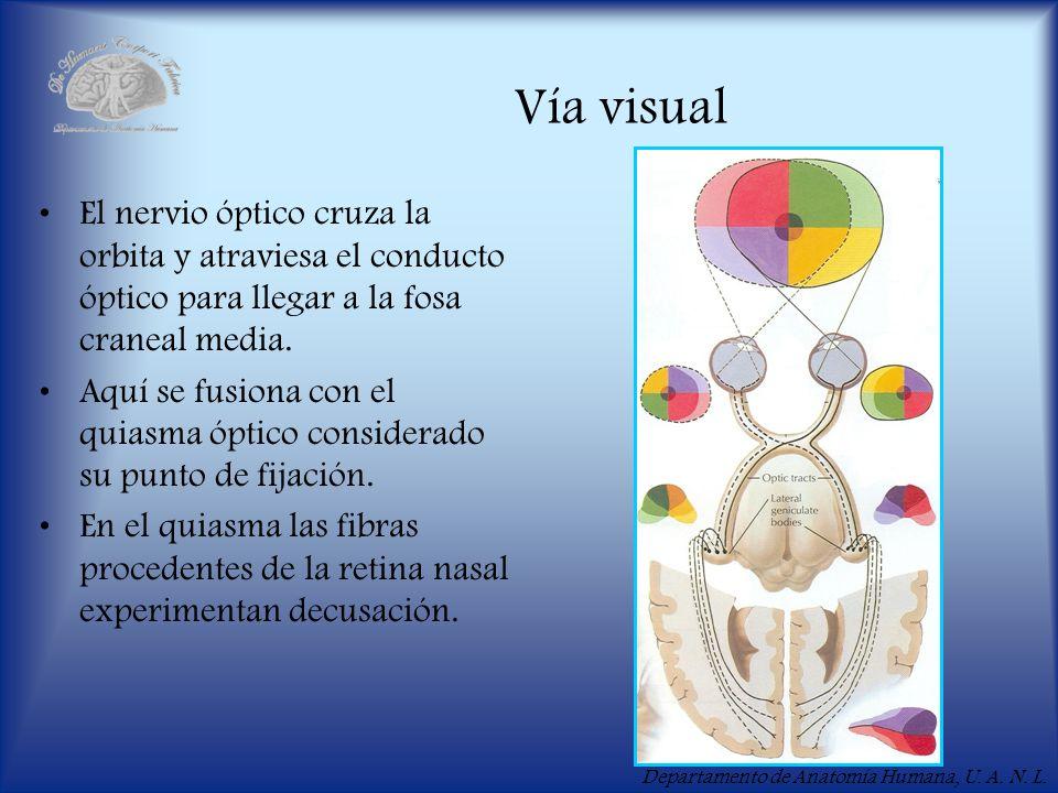 Departamento de Anatomía Humana, U. A. N. L. Vía visual El nervio óptico cruza la orbita y atraviesa el conducto óptico para llegar a la fosa craneal