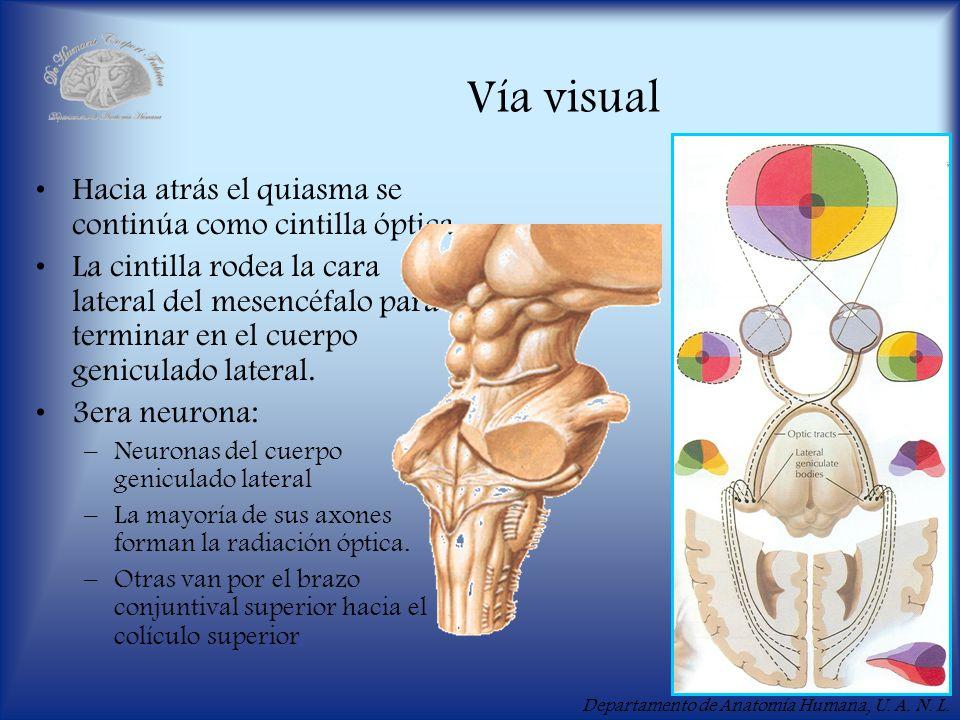 Departamento de Anatomía Humana, U. A. N. L. Vía visual Hacia atrás el quiasma se continúa como cintilla óptica. La cintilla rodea la cara lateral del