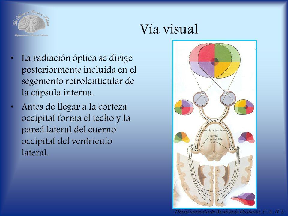 Departamento de Anatomía Humana, U. A. N. L. Vía visual La radiación óptica se dirige posteriormente incluida en el segemento retrolenticular de la cá