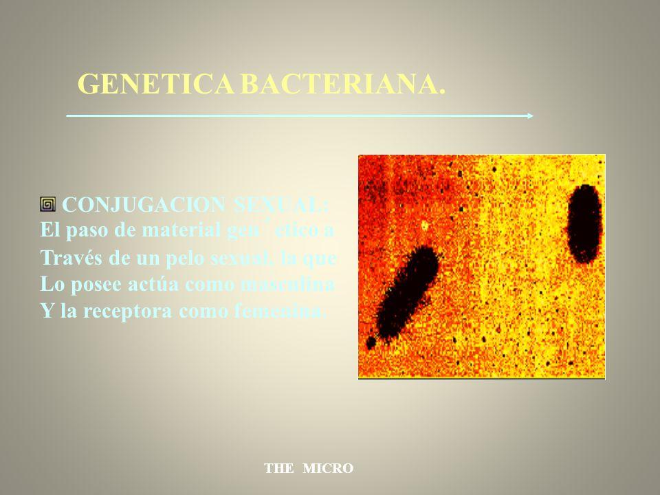 THE MICRO GENETICA BACTERIANA. CONJUGACION SEXUAL: El paso de material gen´etico a Través de un pelo sexual, la que Lo posee actúa como masculina Y la