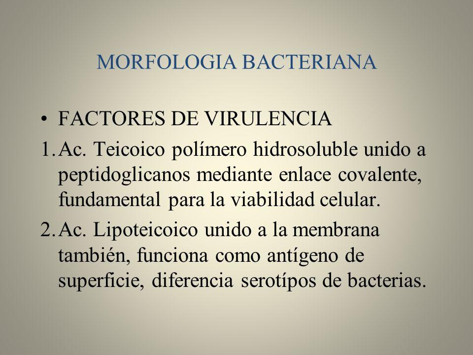 MORFOLOGIA BACTERIANA FACTORES DE VIRULENCIA 1.Ac. Teicoico polímero hidrosoluble unido a peptidoglicanos mediante enlace covalente, fundamental para