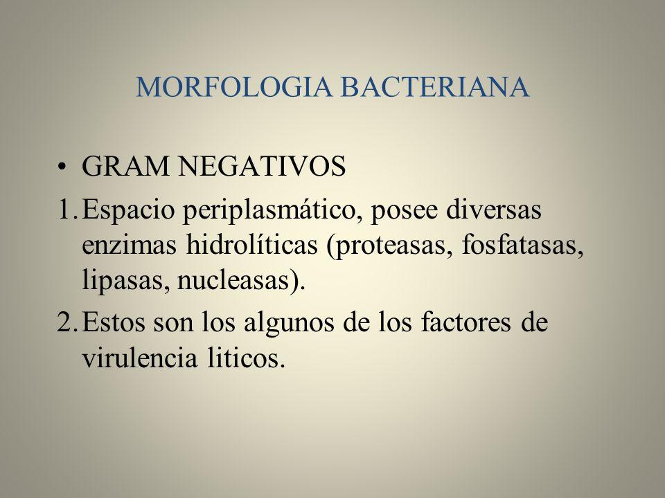 MORFOLOGIA BACTERIANA GRAM NEGATIVOS 1.Espacio periplasmático, posee diversas enzimas hidrolíticas (proteasas, fosfatasas, lipasas, nucleasas). 2.Esto