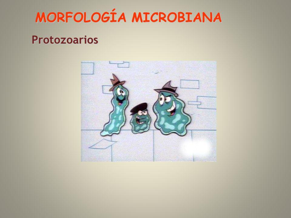 Protozoarios MORFOLOGÍA MICROBIANA