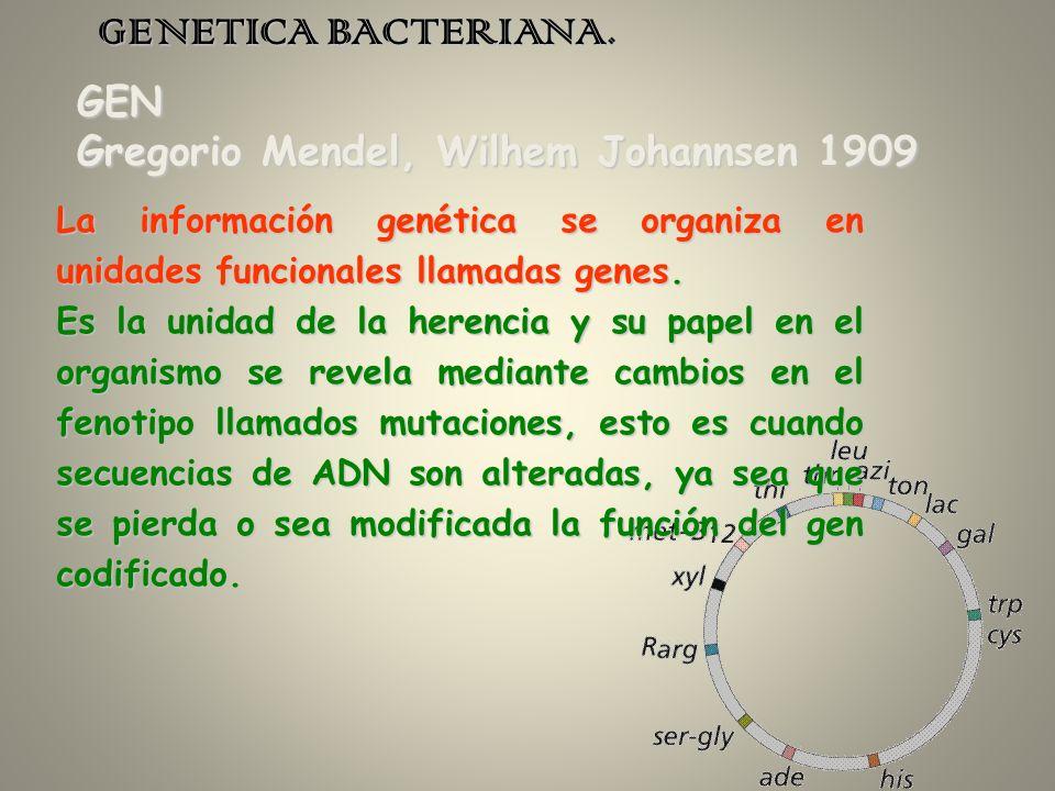 GENETICA BACTERIANA. GEN Gregorio Mendel, Wilhem Johannsen 1909 La información genética se organiza en unidades funcionales llamadas genes. Es la unid