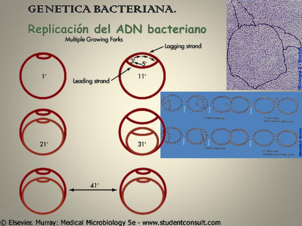 Replicación del ADN bacteriano