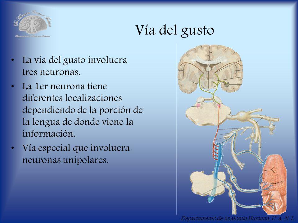 Departamento de Anatomía Humana, U. A. N. L. Vía del gusto La vía del gusto involucra tres neuronas. La 1er neurona tiene diferentes localizaciones de