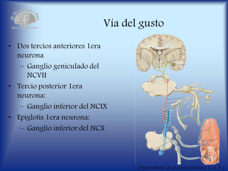 Departamento de Anatomía Humana, U. A. N. L. Vía del gusto Dos tercios anteriores 1era neurona –Ganglio geniculado del NCVII Tercio posterior 1era neu