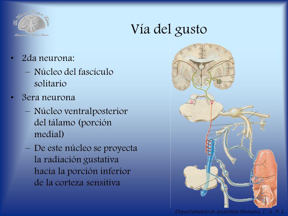 Departamento de Anatomía Humana, U. A. N. L. Vía del gusto 2da neurona: –Núcleo del fascículo solitario 3era neurona –Núcleo ventralposterior del tála