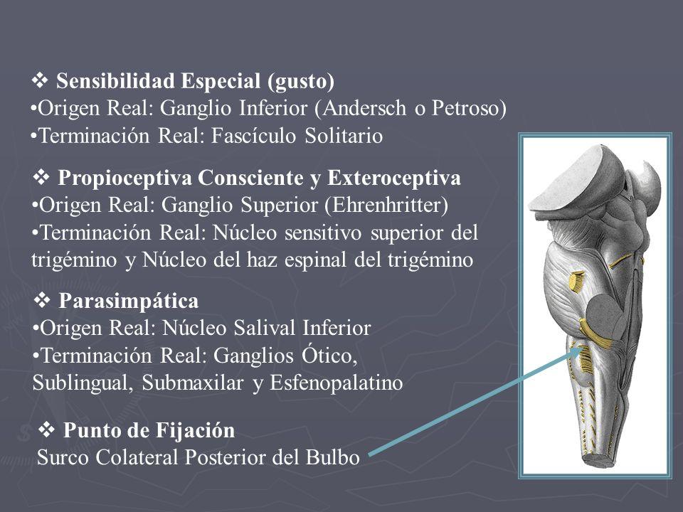 NERVIO GLOSOFARÍNGEO Se desprende del bulbo, cerca del flóculo del cerebelo Se desprende del bulbo, cerca del flóculo del cerebelo Cruza el tubérculo yugular del occipital Cruza el tubérculo yugular del occipital Desciende por el agujero rasgado posterior, envuelto en una vaina propia.