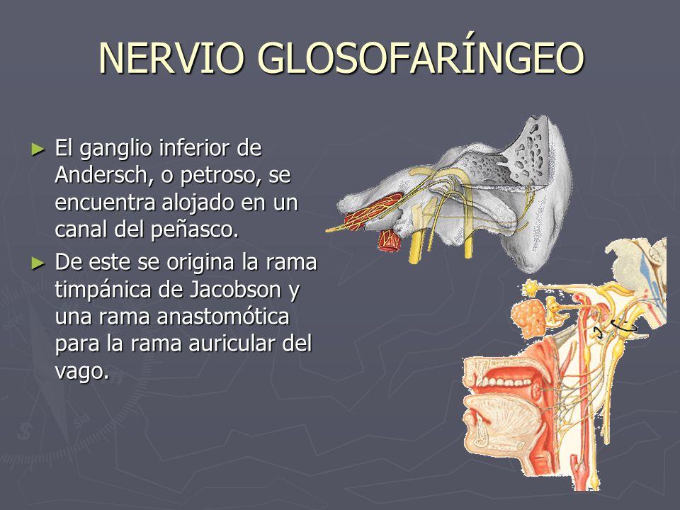 NERVIO TIMPÁNICO DE JACOBSON Se origina del ganglio inferior del glosofaríngeo Se origina del ganglio inferior del glosofaríngeo Se introduce por el conducto timpánico en el oído medio y forma el plexo timpánico, en la superficie del promontorio Se introduce por el conducto timpánico en el oído medio y forma el plexo timpánico, en la superficie del promontorio Posteriormente forma el nervio petroso superficial menor, para terminar en el ganglio ótico.