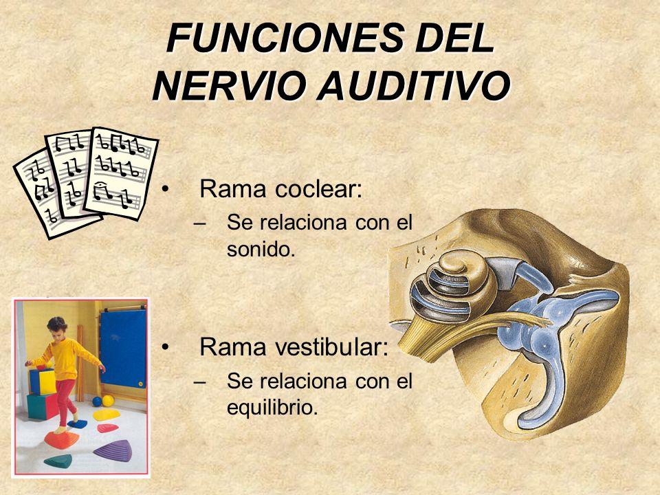 FUNCIONES DEL NERVIO AUDITIVO Rama coclear: –Se relaciona con el sonido.