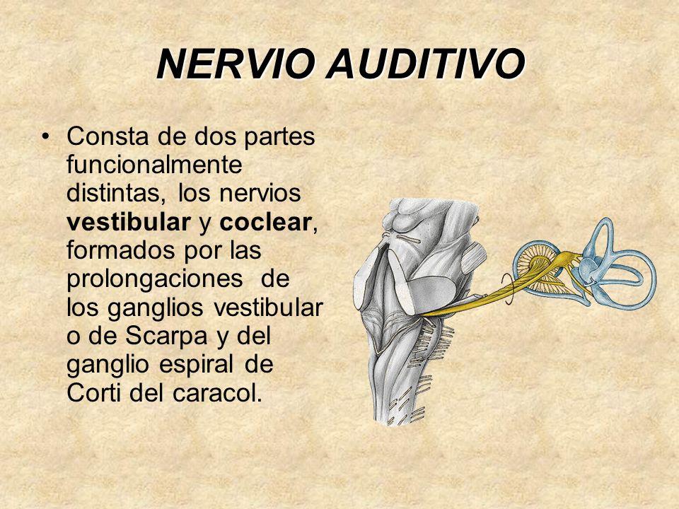 NERVIO AUDITIVO Consta de dos partes funcionalmente distintas, los nervios vestibular y coclear, formados por las prolongaciones de los ganglios vestibular o de Scarpa y del ganglio espiral de Corti del caracol.