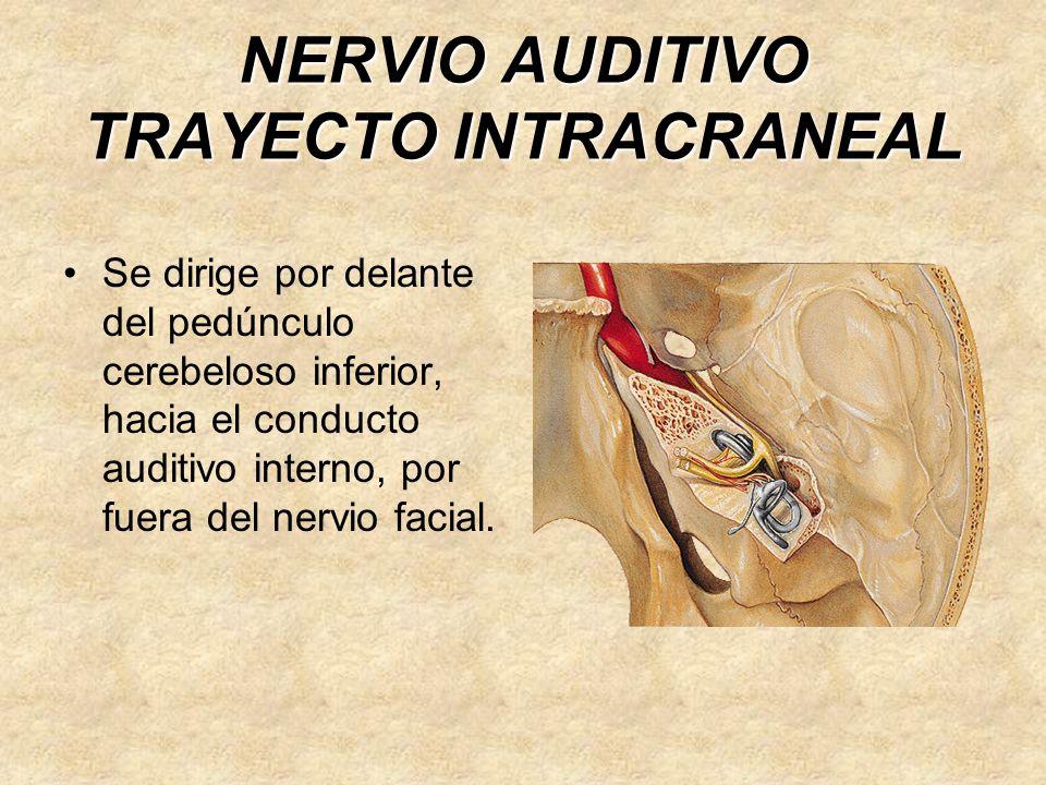 NERVIO AUDITIVO TRAYECTO INTRACRANEAL Se dirige por delante del pedúnculo cerebeloso inferior, hacia el conducto auditivo interno, por fuera del nervio facial.