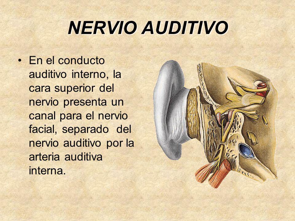 NERVIO AUDITIVO En el conducto auditivo interno, la cara superior del nervio presenta un canal para el nervio facial, separado del nervio auditivo por la arteria auditiva interna.