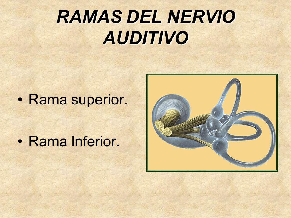 RAMAS DEL NERVIO AUDITIVO Rama superior. Rama Inferior.