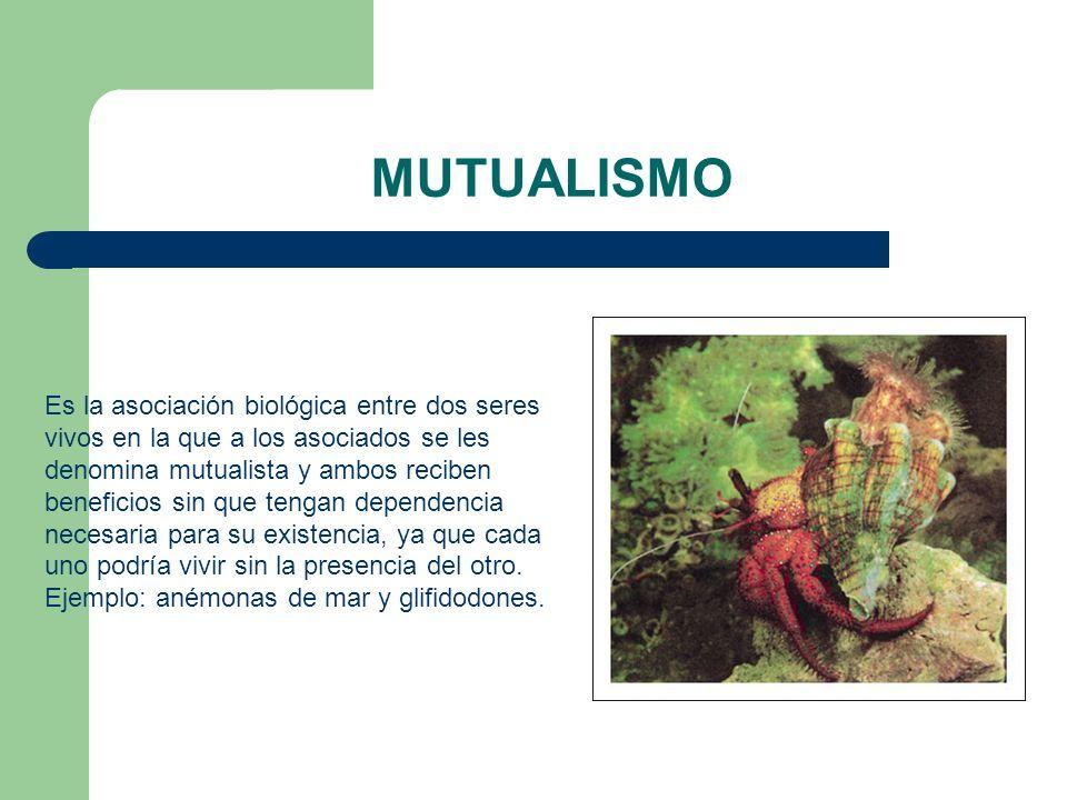 MUTUALISMO Es la asociación biológica entre dos seres vivos en la que a los asociados se les denomina mutualista y ambos reciben beneficios sin que te