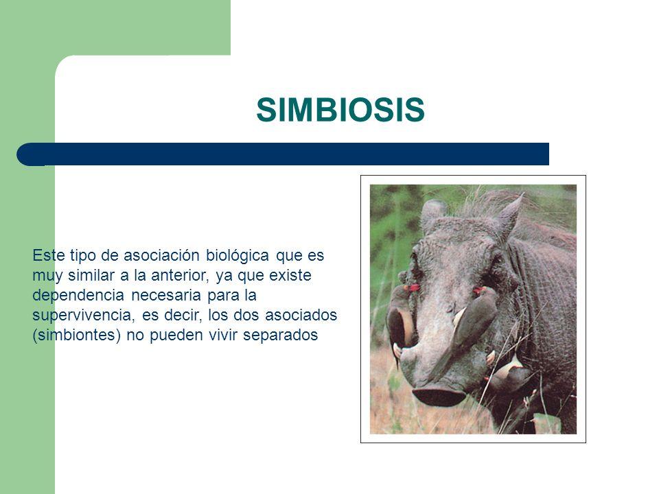 SIMBIOSIS Este tipo de asociación biológica que es muy similar a la anterior, ya que existe dependencia necesaria para la supervivencia, es decir, los