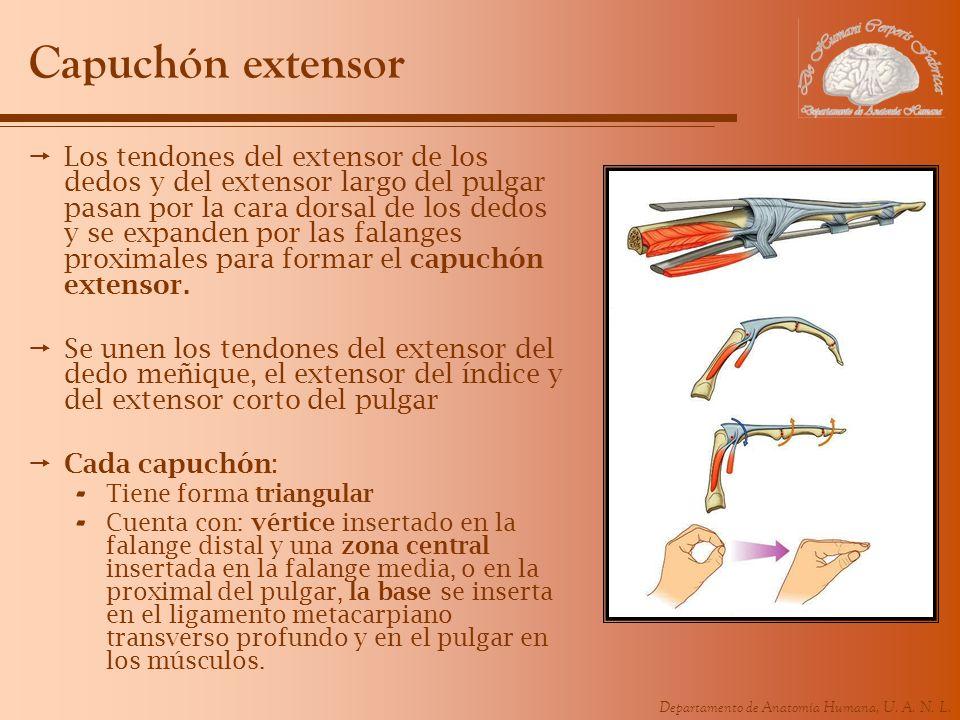 Departamento de Anatomía Humana, U. A. N. L. Capuchón extensor Los tendones del extensor de los dedos y del extensor largo del pulgar pasan por la car