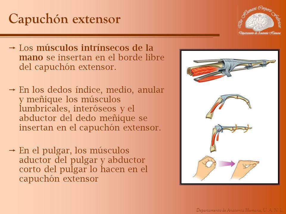 Departamento de Anatomía Humana, U. A. N. L. Capuchón extensor Los músculos intrínsecos de la mano se insertan en el borde libre del capuchón extensor
