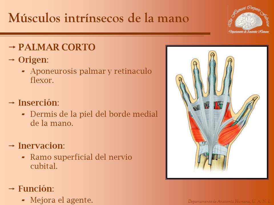 Departamento de Anatomía Humana, U. A. N. L. Músculos intrínsecos de la mano PALMAR CORTO Origen: - Aponeurosis palmar y retinaculo flexor. Inserción: