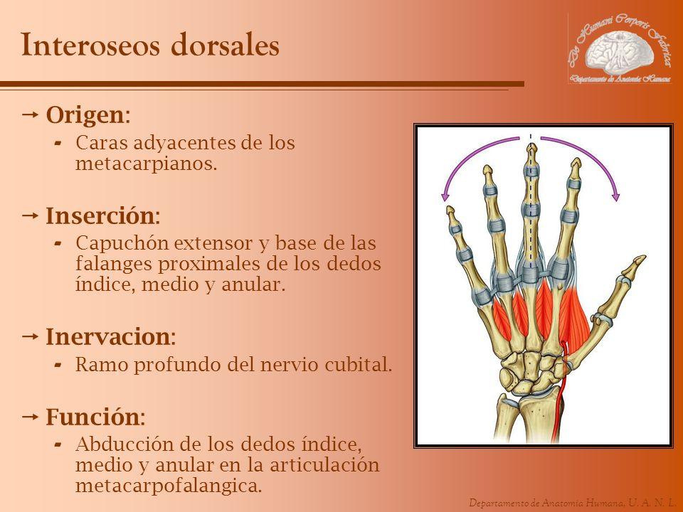Departamento de Anatomía Humana, U. A. N. L. Interoseos dorsales Origen: - Caras adyacentes de los metacarpianos. Inserción: - Capuchón extensor y bas