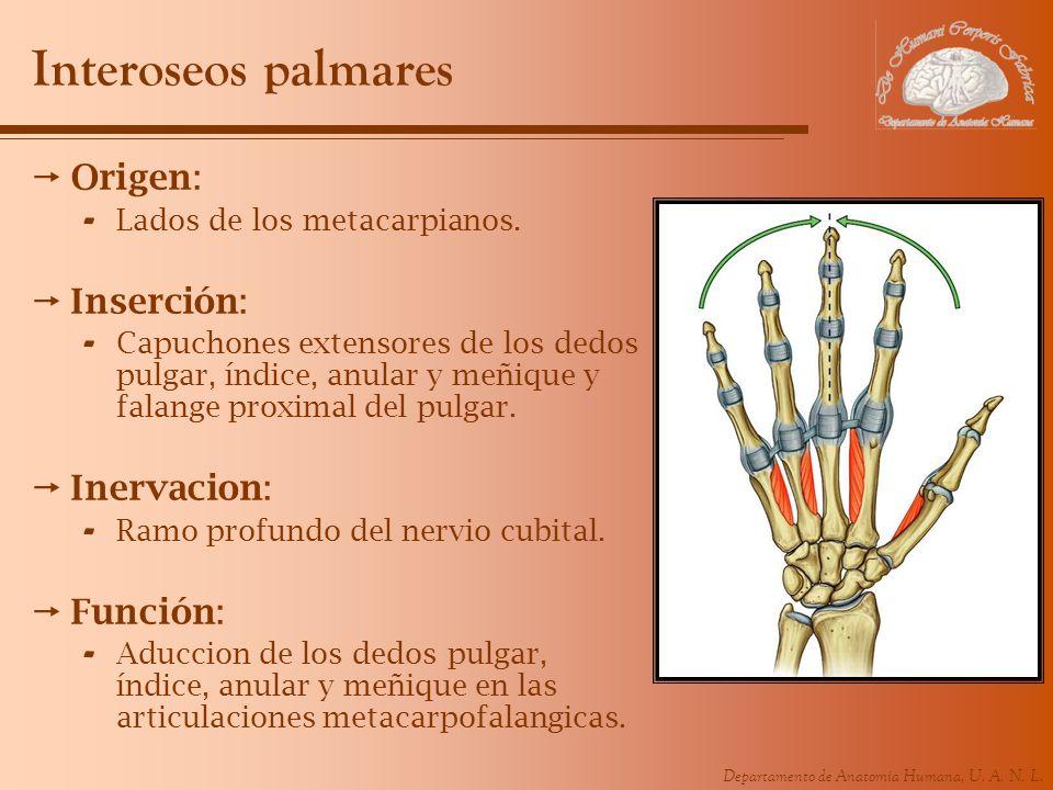 Departamento de Anatomía Humana, U. A. N. L. Interoseos palmares Origen: - Lados de los metacarpianos. Inserción: - Capuchones extensores de los dedos