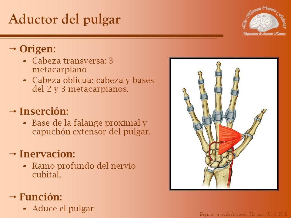 Departamento de Anatomía Humana, U. A. N. L. Aductor del pulgar Origen: - Cabeza transversa: 3 metacarpiano - Cabeza oblicua: cabeza y bases del 2 y 3