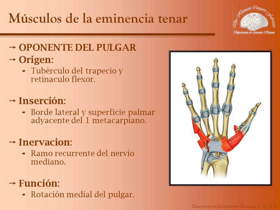Departamento de Anatomía Humana, U. A. N. L. Músculos de la eminencia tenar OPONENTE DEL PULGAR Origen: - Tubérculo del trapecio y retinaculo flexor.