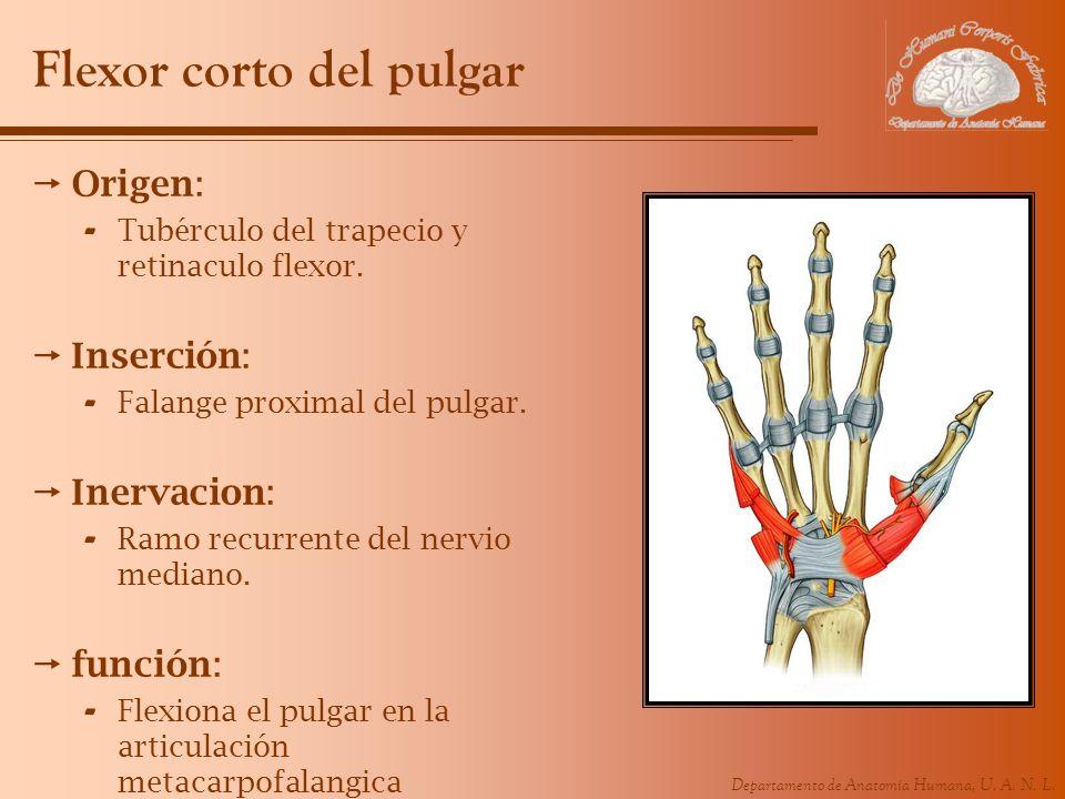 Departamento de Anatomía Humana, U. A. N. L. Flexor corto del pulgar Origen: - Tubérculo del trapecio y retinaculo flexor. Inserción: - Falange proxim
