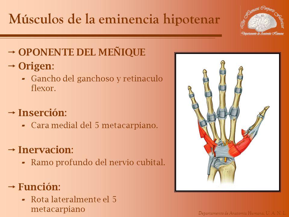 Departamento de Anatomía Humana, U. A. N. L. Músculos de la eminencia hipotenar OPONENTE DEL MEÑIQUE Origen: - Gancho del ganchoso y retinaculo flexor
