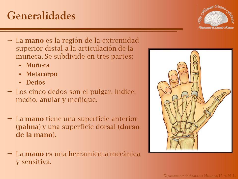 Departamento de Anatomía Humana, U. A. N. L. Generalidades La mano es la región de la extremidad superior distal a la articulación de la muñeca. Se su
