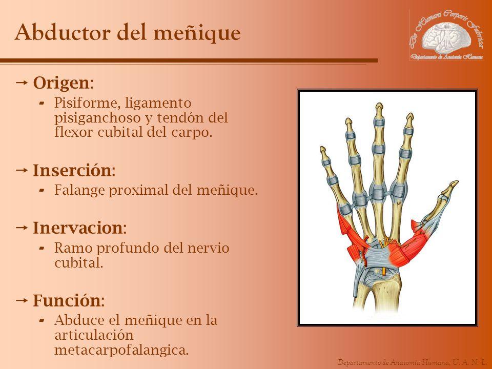 Departamento de Anatomía Humana, U. A. N. L. Abductor del meñique Origen: - Pisiforme, ligamento pisiganchoso y tendón del flexor cubital del carpo. I