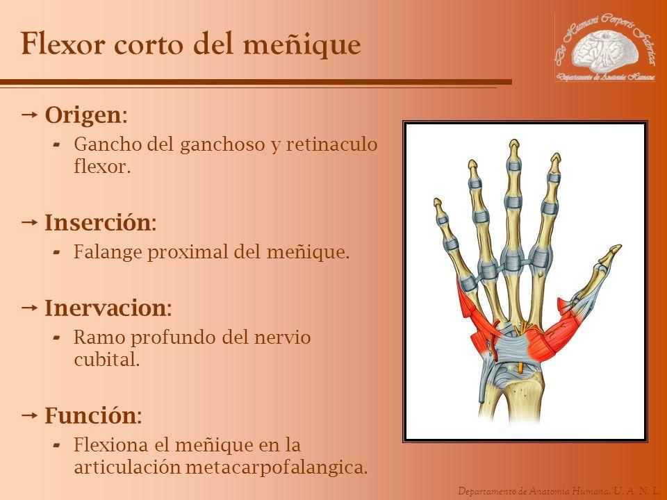 Departamento de Anatomía Humana, U. A. N. L. Flexor corto del meñique Origen: - Gancho del ganchoso y retinaculo flexor. Inserción: - Falange proximal