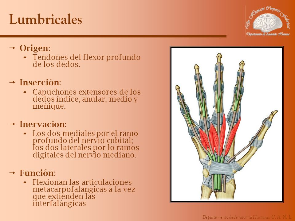 Departamento de Anatomía Humana, U. A. N. L. Lumbricales Origen: - Tendones del flexor profundo de los dedos. Inserción: - Capuchones extensores de lo