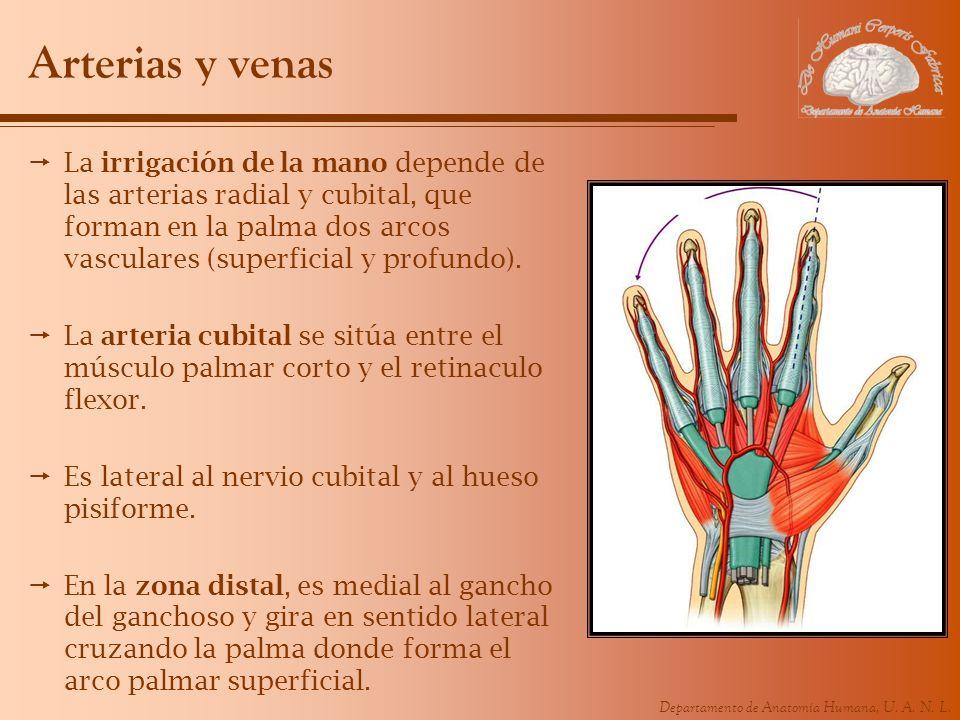 Departamento de Anatomía Humana, U. A. N. L. Arterias y venas La irrigación de la mano depende de las arterias radial y cubital, que forman en la palm