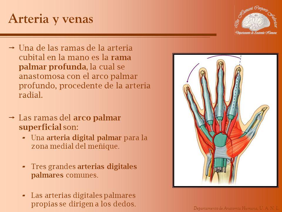 Departamento de Anatomía Humana, U. A. N. L. Arteria y venas Una de las ramas de la arteria cubital en la mano es la rama palmar profunda, la cual se