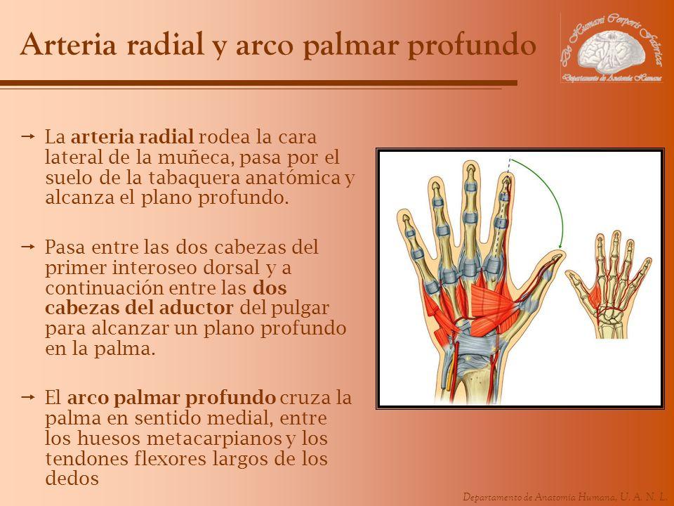Departamento de Anatomía Humana, U. A. N. L. Arteria radial y arco palmar profundo La arteria radial rodea la cara lateral de la muñeca, pasa por el s
