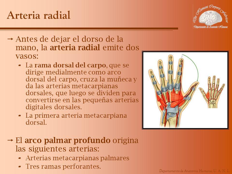 Departamento de Anatomía Humana, U. A. N. L. Arteria radial Antes de dejar el dorso de la mano, la arteria radial emite dos vasos: - La rama dorsal de